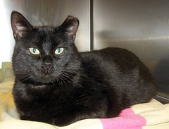 Lovely Black Cat Named Gertrude (Pixel Packing Mama) Tags: lovely1 gorgeous catsandkittensset catloaves opi bcb heartlandhumanesociety v1000 notmycat pixelpackingmama dorothydelinaporter notmypet cc100 cc1000 montanathecat~fanclub catcentury reallyunlimited favoritedpixset cat1000 spcacatspool spcacats blackcatkizzy 15favouritespool worldsfavorite1ormorefaveseachnolimitoffavedphotopool views1500pool views1000andupdomesticcatsonlypool canona540pool catcatscatzpool blackanimalspool blackcatspathpool views15001750pool uploadedfirsthalf2007 1500viewspool 50plusphotographersaged50andbetterpool photosfrom20002010pool reallyunlimitedpleasevotepool oversixmillionaggregateviews over430000photostreamviews