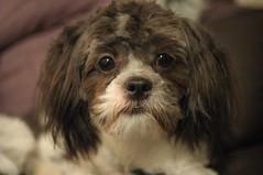 Lastest 25 Best Ideas About Shih Poo On Pinterest  Shih Tzu Poodle Shih Tzu