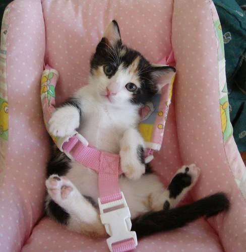 Nawashiff The Car Seat Kitty