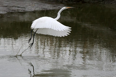 Can You Fly (flopper) Tags: water birds flight sfbayarea egrets greategrets featheryfriday interestingness31 interestingness17 abigfave