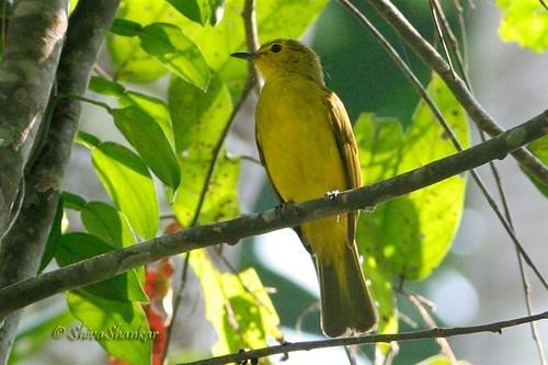 Yellow-browed Bulbul @ Durga,karkala, karnataka.
