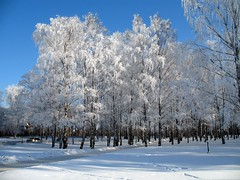 Birch grove (Victor Radziun) Tags: blue winter snow tree stpetersburg grove russia petersburg birch zima nieg   rosja drzewo     brzoza   abigfave