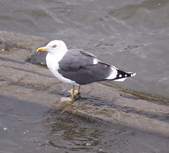 Great Black-Backed Gull by the Thames