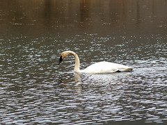Boxley swan