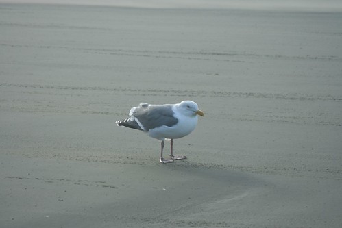Seagull in strong wind