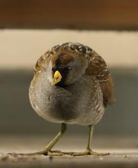 Sora Rail (Porzana carolina) (Oretani Wildlife (Mike Grimes)) Tags: sea bird gulfofmexico birds rail sora crake porzana porzanacarolina westernneptune