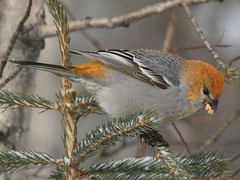 Pine Grosbeak_0650 (ru_24_real) Tags: bird birds bravo searchthebest alberta peaceriver pinegrosbeak wildlifephotography specanimal animalkingdomelite impressedbeauty avianexcellence