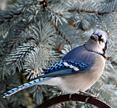 """Is My Head on Backward?"" (linda yvonne) Tags: blue closeup bluejay jokester bluespruce naturesfinest interestingness4 birdphoto i500 abigfave abigfav 11000views lindayvonne anawesomeshot anawsomeshot avianexcellence flickrdiamond frhwofavs"
