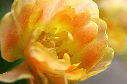 Tulip Orange Lady