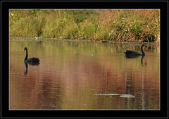 Black Swans-North Buderim Lake (Barbara J H) Tags: lake black nature water birds canon20d australia swans sunshinecoast cygnusatratus australianbirds blackswans australianwildlife wildlifeofaustralia barbarajh northbuderimlake