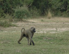 Baboon (Scott Kinmartin) Tags: monkey interestingness flickr explore baboon uganda photostream scottkinmartin