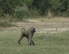 Baboon (Scott Kinmartin) Tags: monkey interestingness flickr explore baboon uganda photostream scottkinmartin