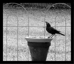 My Backyard (momhascrafts) Tags: black bird fence blackwhite backyard birdbath florida explore sarasota soe blueribbonwinner thebestbravo supershot abigfave anawesomeshot impressedbeauty superbmasterpiece beyondexcellence goldenphotographer diamondclassphotographer flickrdiamond 1001268abw supereco