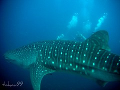 Whale Shark at Richelieu Rock