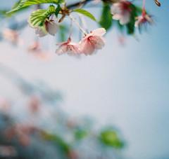 寒桜 (otarako☺︎) Tags: film spring 新宿御苑 f3 寒桜