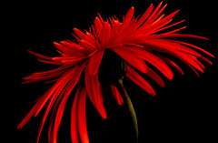 The Romantic Red (_saurabh_) Tags: red flower love gorgeous romance lovely elegant aa flickrsbest colorphotoaward saurabhdhall superbmasterpiece flickrdiamond theromanticred geometricalcomposition