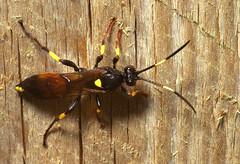 "Ichneumons Wasp (Ichneumon stramentar(1) • <a style=""font-size:0.8em;"" href=""http://www.flickr.com/photos/57024565@N00/413660798/"" target=""_blank"">View on Flickr</a>"