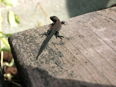 Baby Lizard III (dwaffie) Tags: macro animal closeup sweden reptile lizard sverige reptil djur ödla summer2006 swedishforestlizard forestlizard svenskskogsödla skogsödla