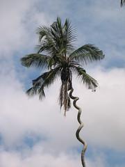Kodak Palm, Zanzibar Island
