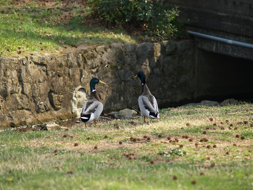 Duck Conversations