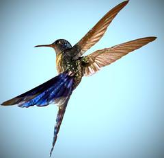 (www.clauamorim.com.br) Tags: bird animal animals photoshop canon hummingbird pssaro animais beijaflor anawesomeshot colorphotoaward holidaysvacanzeurlaub