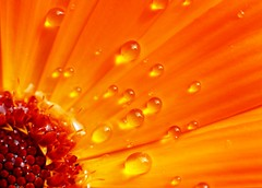 Spring is here (cmrowell) Tags: california orange flower macro catchycolors drops interestingness ouryard waterdrops venturacounty 50mmf14 newburypark calendula conejovalley canonef50mmf14usm canon50mmf14 extensiontubes explored specnature