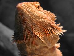 BEARDed Dragon (Scott Kinmartin) Tags: beard lizard beardeddragon pogona micca pogonavitticeps specanimal beardeddragonbeard