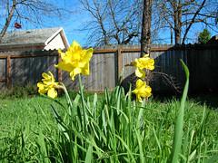 Random Daffodils