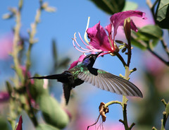 Beija-flor Tesoura ao lado de Uma Pata-de-vaca (Bauhinia variegata) - Swallow-tailed Hummingbird beside a Purple orchid tree 6 353 - 9 (Flvio Cruvinel Brando) Tags: flowers brazil sky naturaleza flores flower color bird nature colors birds animal animals braslia brasil cores out ilovenature flying colorful hummingbird natureza flor flight passarinho pssaro aves ave urbannature brazilian hummingbirds pajaro fiori animais cor pssaros beijaflor flvio tesoura feathery vo birdwatcher colibri colorida voando colorido picaflor swallowtailed beijaflortesoura colibris featheryfriday eupetomenamacroura beijaflores picaflores animaladdiction swallowtailedhummingbird eupetomenamacrourus flviocruvinelbrando abigfave eupetomena cmeradeourobrasil anawesomeshot colorphotoaward bfgreatesthits world100f salveanatureza planetaterraeseusanimaisincrveis