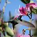 Beija-flor Tesoura ao lado de Uma Pata-de-vaca (Bauhinia variegata) - Swallow-tailed Hummingbird beside a Purple orchid tree 6 353 - 9