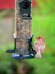 bird birds purple wildlife birdfeeder finch purplefinch
