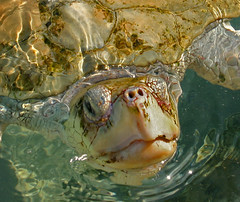Meet My Friend-- Big Gulp (Kathy~) Tags: cruise turtle cw cayman bigmomma seaturtlesturtles msh1008 msh100810