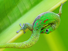 Dragon (konaboy) Tags: green closeup leaf dragon gecko folha heliconia madagascar 40407