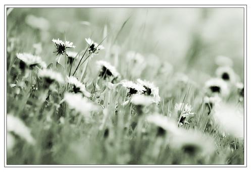 Thêm một chút cho hoa Bồ Công Anh - By Boong Boong - Yahoo 360! 430059615_25a8222d06