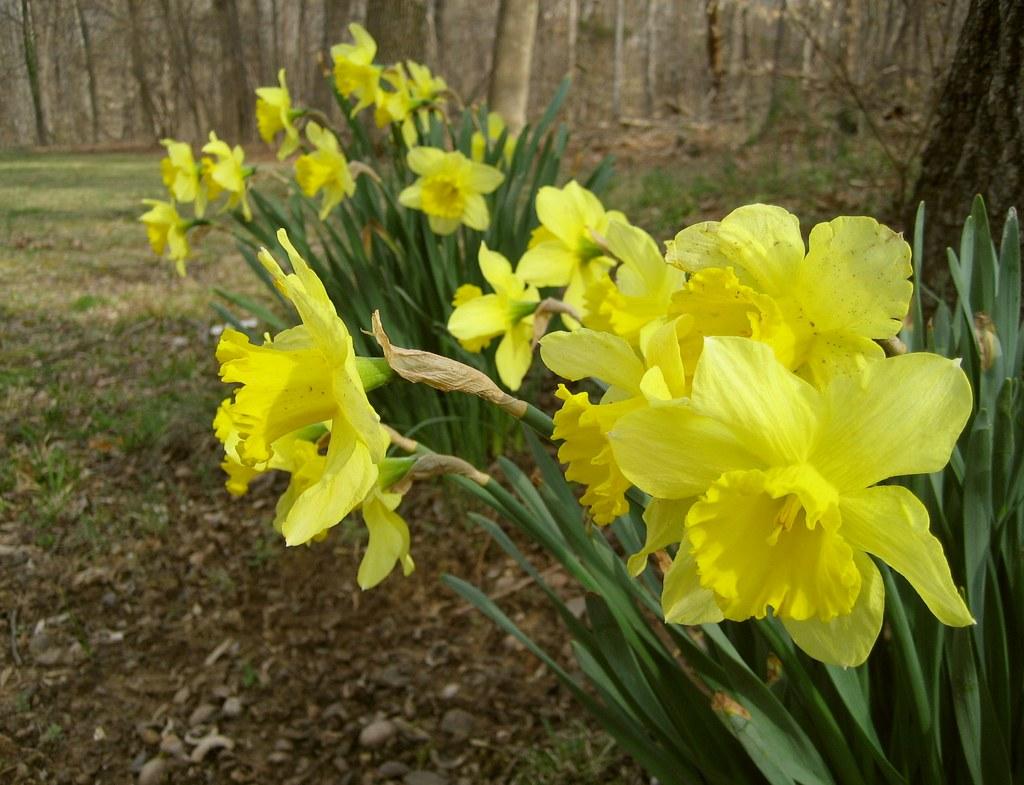 Daffodils 20070323