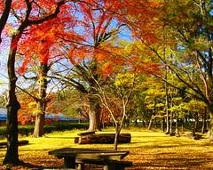 (autumn colors (nobuflickr) Tags: autumn nature japan kyoto autumncolors kyotoimperialpalace coloors