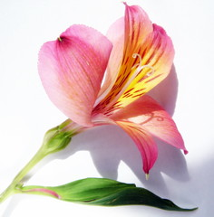 ~Alstroemeria~ color for Laurie (Maureen F.) Tags: flowers petals bravo alstroemeria excellence naturesfinest maureenf 25faves anawesomeshot colorphotoaward superbmasterpiece flickrdiamond