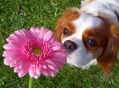 Rosy smelling a Gerbera 26/03/07 (safari.photogirl) Tags: pink dog flower nose gerbera sniff rosy project365 hpad hpad260307
