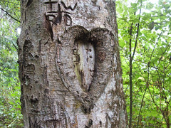 Heart shaped knot (rowkitcat) Tags: camping camp tree green leaves forest washington woods knot treetrunk bark deceptionpass heartshaped campingtrip