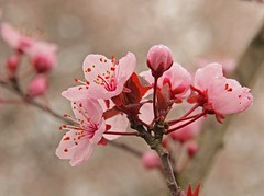 Plum Blossoms (Peggy Collins) Tags: pink flowers macro tree nature rain closeup outdoors spring bokeh blossoms explore raindrops springtime excellence plumblossoms interestingness136 i500