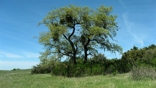 Oak in the meadow