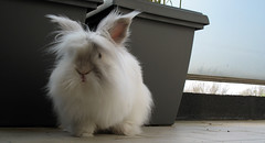 Poncho (Fonk) Tags: pet rabbit bunny animal poncho lapin fonk