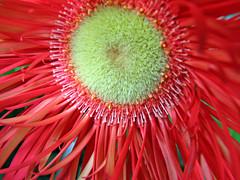 Red Gerbera macro (mistymisschristie) Tags: red macro canon petals awesome powershot gerbera greatshot naturesfinest s3is mistymisschristie