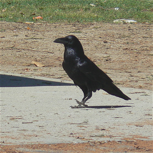 Raven . . . toe tapping