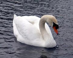 Mute Swan (blmiers2) Tags: newyork bird nature beautiful birds geotagged bay blog swan wildlife faves a1 avian muteswan cygnusolor anatidae anseriformes irondequoitbay birdphoto blm18 blmiers2