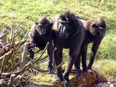 Schopfmakaken (Joachim S. Müller) Tags: 3 animal germany mammal deutschland zoo monkey hessen monkeys primate darmstadt tier affen vivarium affe macaque makak macacanigra primat säugetier makake verwendet celebescrestedmacaque schopfaffe schopfmakak crestedmacaque