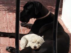 Sopa & Paca (Ubierno) Tags: dog chien pet pets love amigo friend amor great greatdane perro amour gran dane lovely westy mascota mascotas westhighlandterrier mantel dogo compañero danés grandanés deutschedoggen ubierno