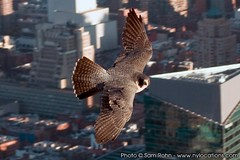 Peregrine Falcon :: Empire State Building (Sam Rohn - 360 Photography) Tags: nyc newyorkcity friends wild urban newyork bird rooftop nature birds skyline geotagged fly flying interesting wings nikond70 manhattan flight free raptor stare empirestatebuilding birdofprey locationscouting locationscout peregrinefalcon filmscouting nylocations samrohn avianexcellence filmscout geo:lat=40748639 geo:lon=73985431