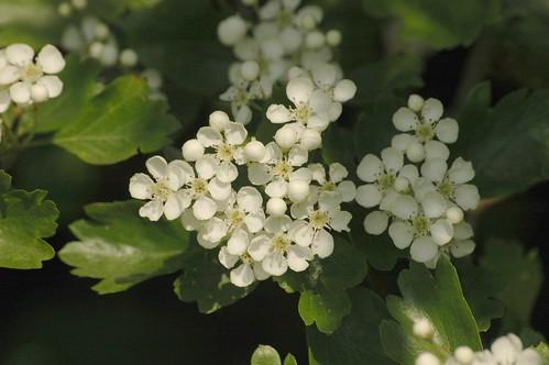 Crataegus monogyna - meidoorn