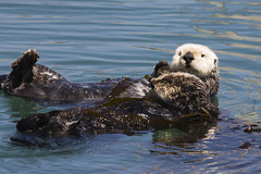 sea-otter-mom-and-pup-4-16-07_3